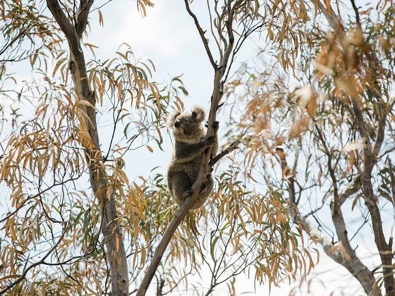 More protected land for koalas has been set aside on the NSW north coast.